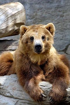 Kodiak bear at Alaska Zoo - Anchorage, Alaska