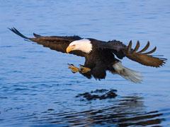 Bald Eagle Fishing - Homer, Alaska