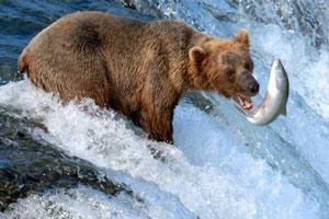 Alaska brown bear fishing for salmon