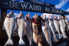 trophy fish - Seward, Alaska